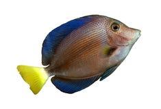 Peixes tropicais do recife fotos de stock