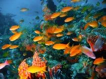 Peixes tropicais do recife coral fotografia de stock royalty free