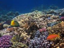 Peixes tropicais e corais duros Foto de Stock Royalty Free