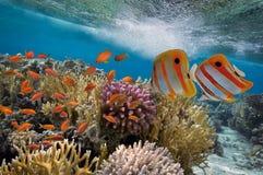 Peixes tropicais e corais duros Foto de Stock