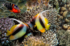 Peixes tropicais e corais duros no Mar Vermelho Fotos de Stock Royalty Free