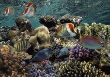 Peixes tropicais e corais duros no Mar Vermelho Imagens de Stock