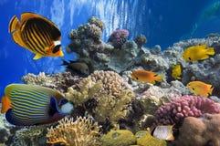 Peixes tropicais e corais duros no Mar Vermelho Fotografia de Stock Royalty Free
