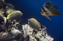 Peixes tropicais e corais duros no Mar Vermelho Fotos de Stock