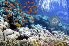 Peixes tropicais e corais duros no Mar Vermelho Foto de Stock