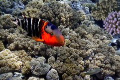 Peixes tropicais e corais duros no Mar Vermelho Imagem de Stock