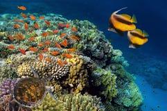 Peixes tropicais e corais duros no Mar Vermelho Foto de Stock Royalty Free