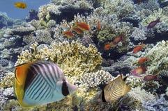 Peixes tropicais em Coral Reef no Mar Vermelho Fotos de Stock