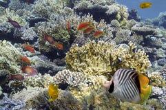 Peixes tropicais em Coral Reef no Mar Vermelho Imagens de Stock