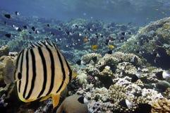 Peixes tropicais em Coral Reef no Mar Vermelho Foto de Stock Royalty Free