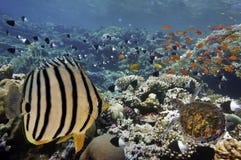 Peixes tropicais em Coral Reef no Mar Vermelho Imagem de Stock