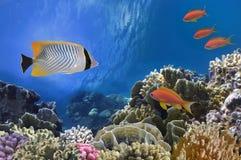 Peixes tropicais em Coral Reef no Mar Vermelho Fotografia de Stock Royalty Free