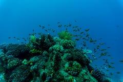 Peixes tropicais em Coral Reef vibrante, cena subaquática fotos de stock