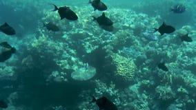 Peixes tropicais em recifes de corais video estoque