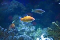 Peixes tropicais em um aquário Fotos de Stock Royalty Free
