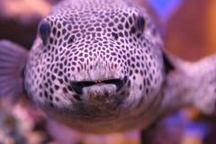 Peixes tropicais engraçados Fotos de Stock Royalty Free
