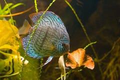 Peixes tropicais no aquário Foto de Stock Royalty Free