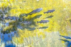 Peixes tropicais no lago artificial Foto de Stock Royalty Free