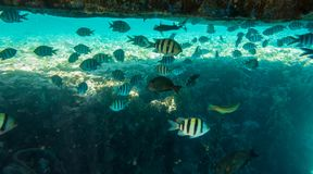 Peixes tropicais pequenos que vivem sob o pontão no mar Fotos de Stock Royalty Free