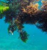 Peixes tropicais - sargento Imagens de Stock Royalty Free