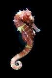 Peixes tropicais, seahorse no fundo preto Imagem de Stock