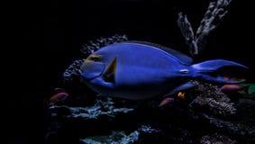 Peixes tropicais subaquáticos Fotos de Stock Royalty Free