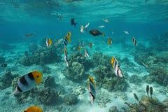 Peixes tropicais subaquáticos no Oceano Pacífico da lagoa Imagens de Stock Royalty Free
