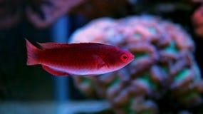 Peixes tropicais vermelhos Fotos de Stock Royalty Free