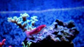 Peixes tropicais vermelhos Imagem de Stock Royalty Free