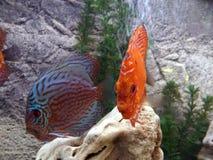 Peixes tropicais vermelhos corais imagem de stock royalty free