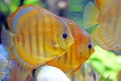 Peixes tropicos que nadam debaixo d'água Imagens de Stock
