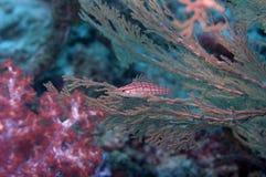 Peixes vermelho-descascados bonitos Fotos de Stock Royalty Free
