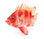 Peixes vermelhos Foto de Stock