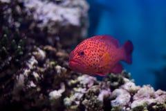 Peixes vermelhos Fotografia de Stock Royalty Free