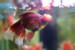 Peixes vermelhos bonitos imagens de stock