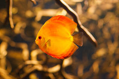 Peixes vermelhos bonitos do disco foto de stock