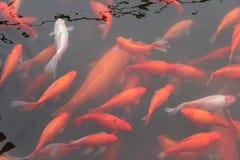 Peixes vermelhos da carpa imagem de stock royalty free