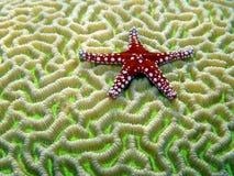 Peixes vermelhos da estrela no coral de cérebro fotos de stock royalty free