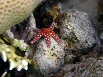 Peixes vermelhos da estrela no recife coral Imagem de Stock Royalty Free