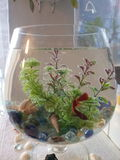 Peixes vermelhos de flutuação no aquário imagem de stock royalty free