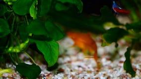 Peixes vermelhos do aquário do Helleri de Xiphophorus dos pares de Swordtail filme