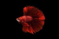 Peixes vermelhos do betta Imagens de Stock