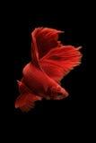 Peixes vermelhos do betta Imagem de Stock Royalty Free