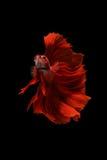 Peixes vermelhos do betta no fundo preto Imagem de Stock