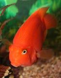 Peixes vermelhos do papagaio. Foto de Stock