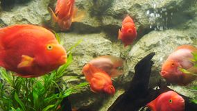 Peixes vermelhos do papagaio do sangue na água