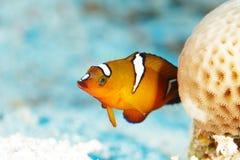 Peixes vermelhos do recife imagem de stock