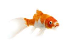 Peixes vermelhos e brancos de Koi Imagem de Stock