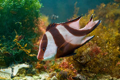 Peixes vermelhos e brancos em algas verdes Imagens de Stock