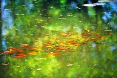 Peixes vermelhos e dourados na lagoa Fotos de Stock Royalty Free